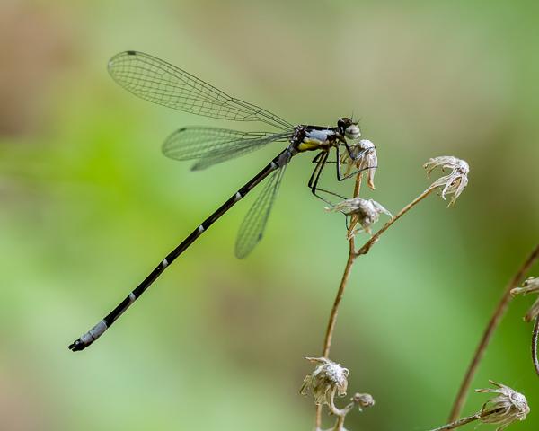 Aurora Damsel (male)