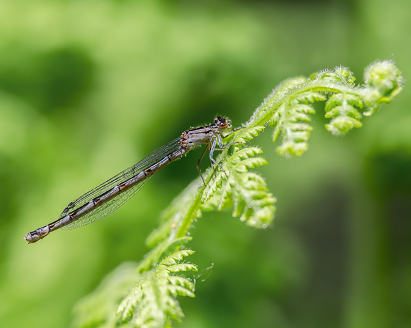 Bluet sp (female)