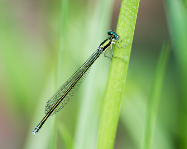 Sedge Sprite (female)