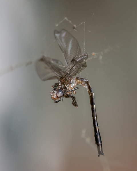 Dragonfly Entangled in Spiderweb #4