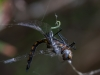 Dragonfly Entangled in Spiderweb #2