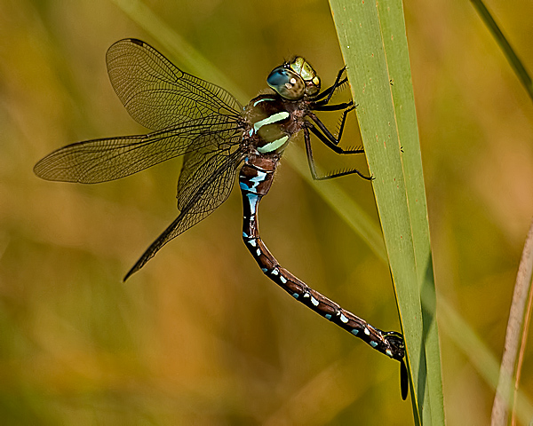 Black-tipped Darner (female) Ovipositing