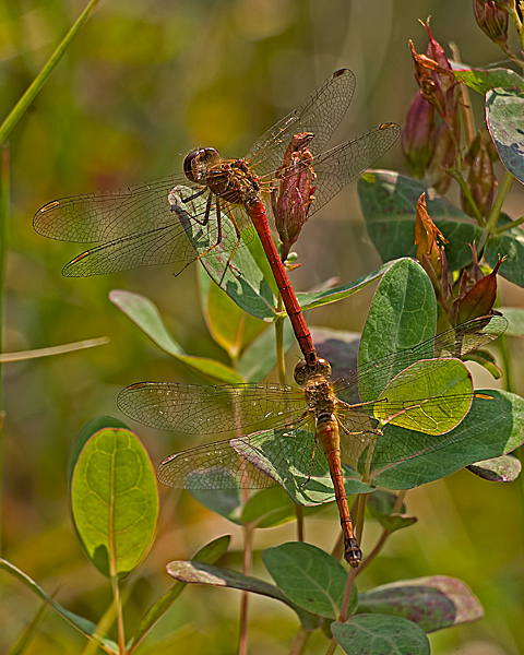 Autumn Meadowhawk (tandem pair)