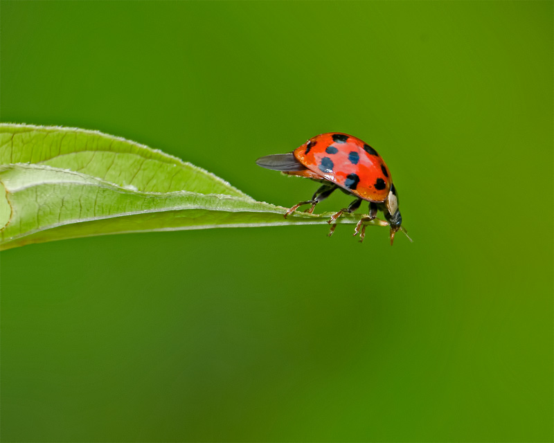 Lady Bug Leap