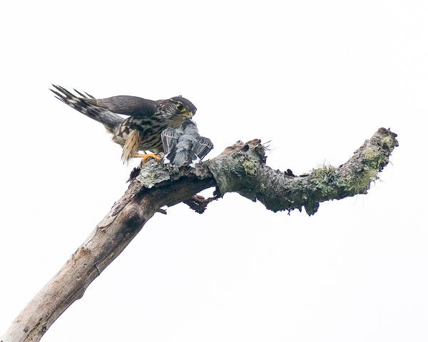 Merlin (male) with Prey (white-breasted nuthatch)