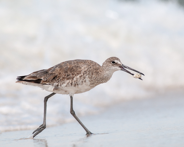 Willet with Prey