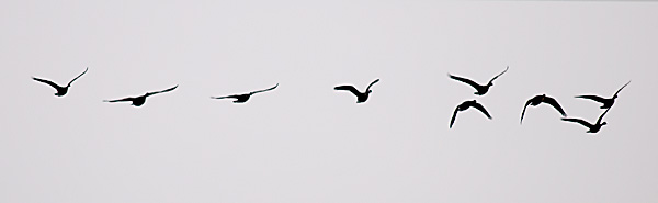 Canada Geese (in flight)