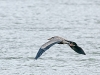 Great B;ue Heron (in flight)