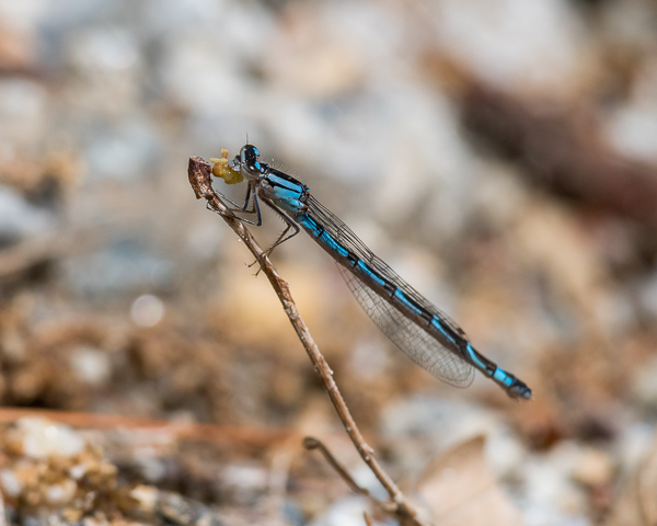 Bluet sp. (male) with Prey