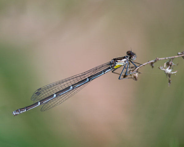 Aurora Damsel (female)
