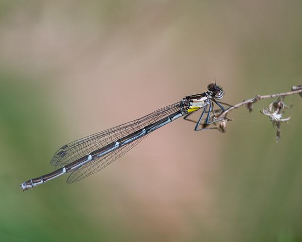 Aurora Damsel (female)
