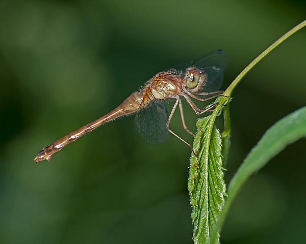 Meadowhawk sp? (female)