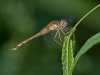 Meadowhawk sp? (female)