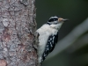 Hairy Woodpecker #1