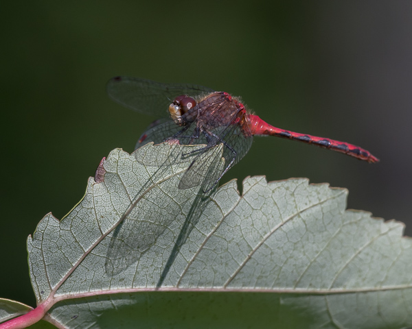 Autumn Meadowhawk (male) #2