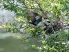 Eastern Kingbird Feeding Sequence 2 of 3