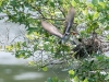 Eastern Kingbird Feeding Sequence 3 of 3