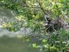 Eastern Kingbird Nestling