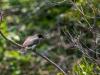Eastern Kingbird with Dragonfly (prey)