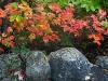 Autumn Maple and Stone