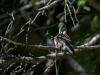 Juvenile Ruby-throated Hummingbird Preening