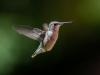 Juvenile Ruby-throated Hummingbird In Flight