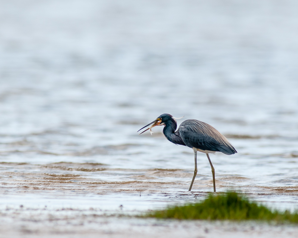 Tri-colored Heron with Prey