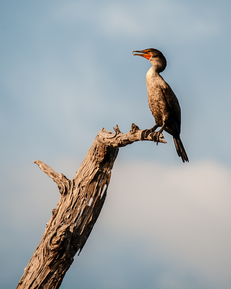 Double Crested Cormorant #2