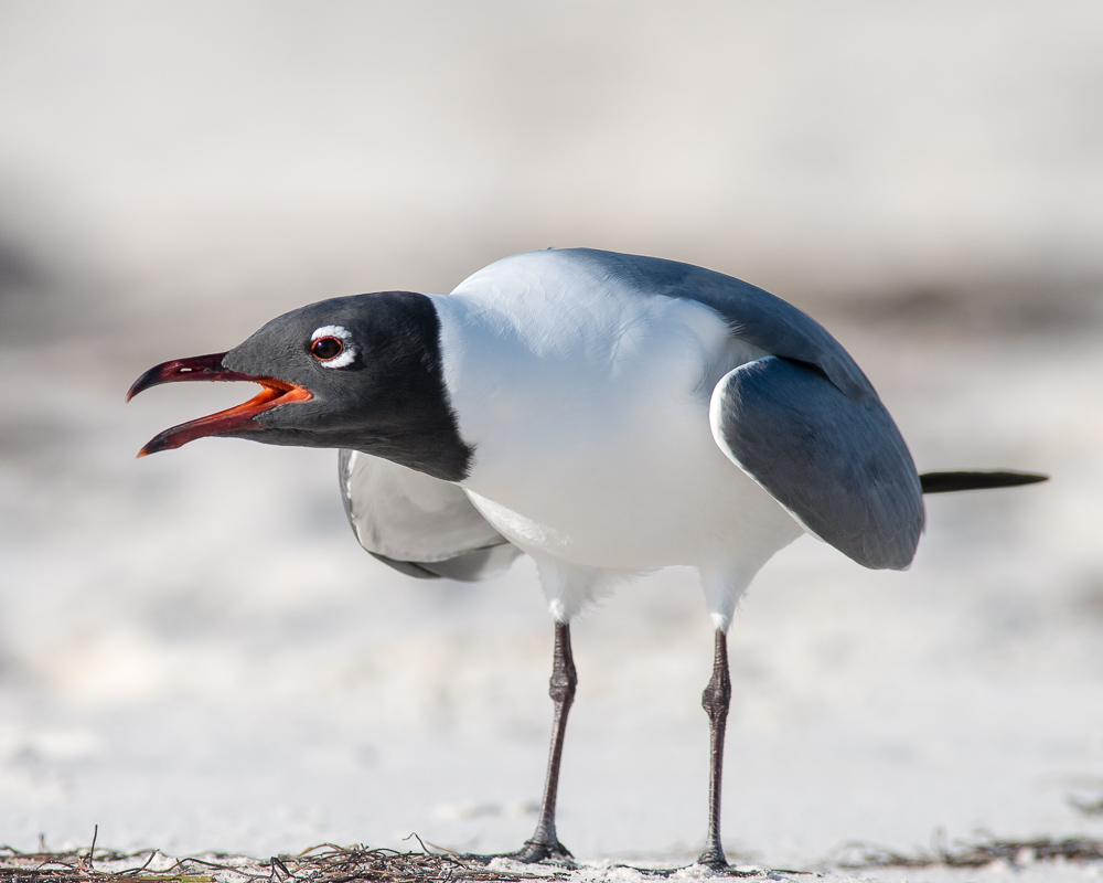 Laughing Gull #2