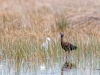 Little Blue Heron (immature) and Glossy Ibis