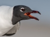 Laughing Gull #3