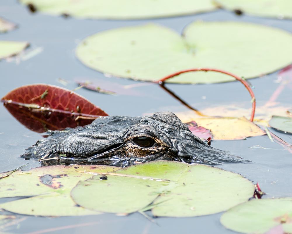 Alligator #1