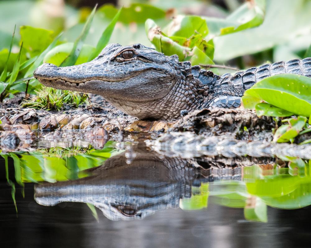 Alligator #4