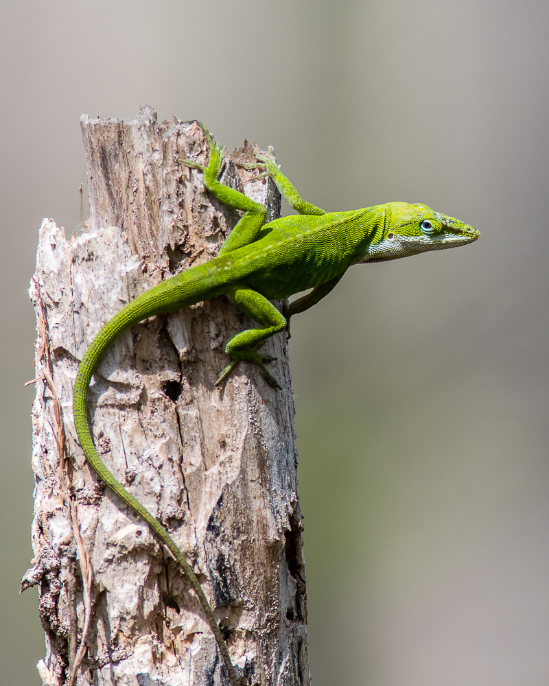 Green Anole #2