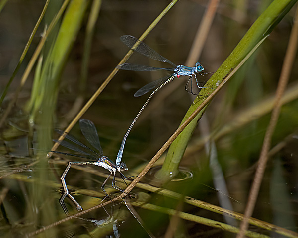 Swamp Spreadwing (ovipositing pair)
