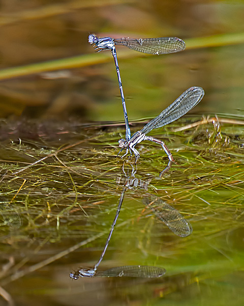 Variable Dancer(ovipositing pair)