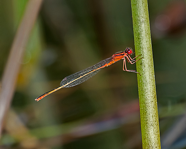 Scarlet Bluet (male)