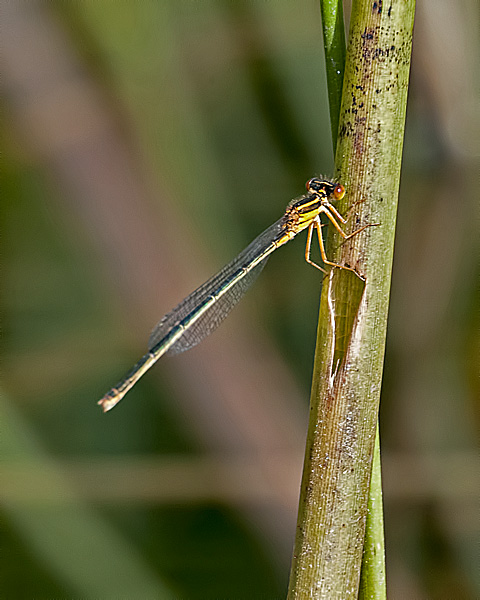 Scarlet Bluet (female)
