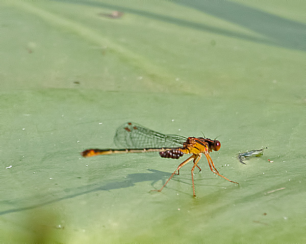 Orange Bluet (male)