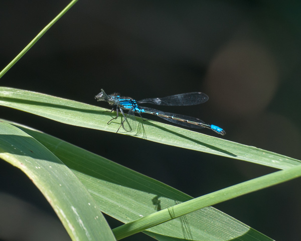 Bluet with Prey (ID Needed)