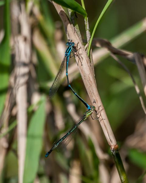 Stream Bluet (tandem pair)