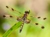 Calico Pennant (imm. male)