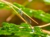 Sphagnum Sprite (male)