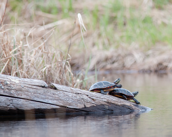Painted Turtles #2