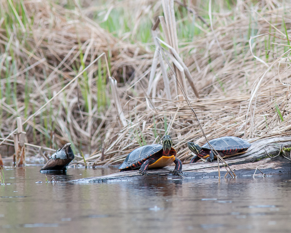 Painted Turtles #4