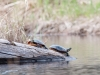 Painted Turtles #1