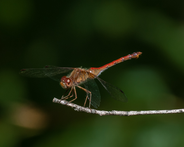 Meadowhawk (male, probably an Autumn)