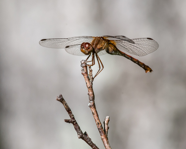 Meadowhawk (female, probably an Autumn) #2
