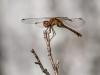 Meadowhawk (female, probably an Autumn) #2