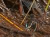 Sphagnum Sprite (ovipositing pair)